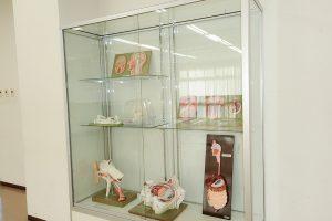 解剖模型の展示(1)